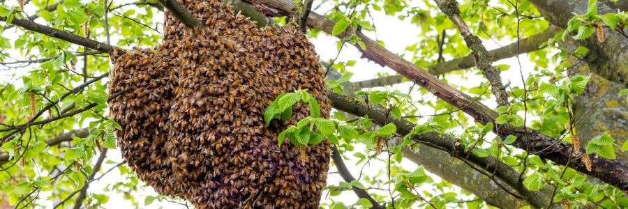 Non-lethal, live honey bee and comb removal whenever possible