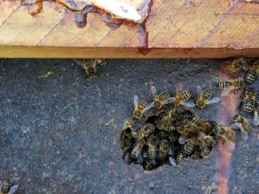 Honey bees at the Old Rectory, Cheddon Fitzpaine