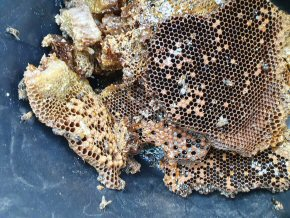 Honey bee honeycomb removed from hive